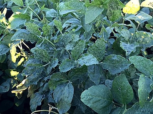 Image 7. Virus affected soybeans Lockyer Valley 2016. Note the crinkled leaves, which are quite different in appearance to the small leaves on the phytoplasma-affected plants. Photo by Murray Sharman
