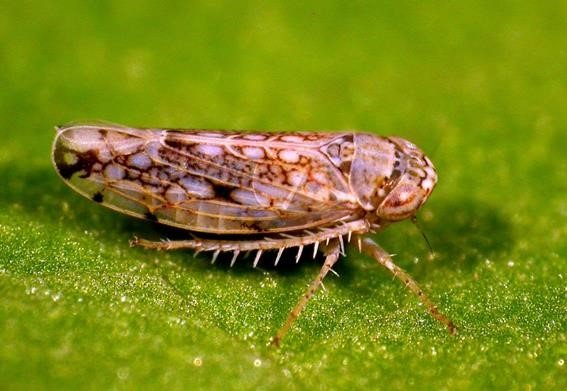 Image 8. Common brown leaf hopper Orosius orientalis, 3-4 mm in length. The literature suggests this is the most likely vector, but other leafhopper species may be responsible. Photo by Piotr Trebicki