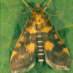 Legume webspinner moth (12 mm long)