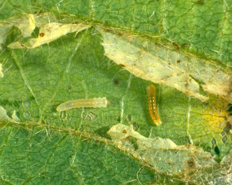 Soybean leafminer larvae (2 mm) inside cut-open leaf mine