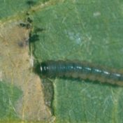 Soybean moth larva (5 mm) and typical leaf-mining damage