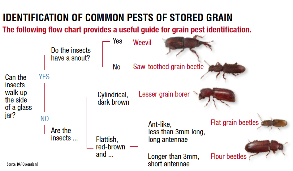 ID-common-pests-of-stored-grain