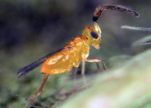 The microscopic natural enemy; Eretmocerus hayati. Image: CSIRO.