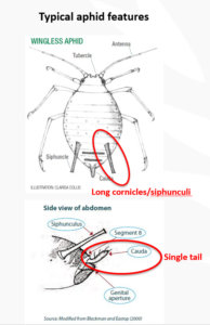 Aphid-ID1