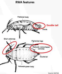 Aphid-ID2