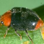Cryptolaemus ladybird