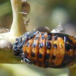 Example of ladybird pupa