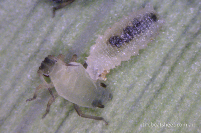 Corn aphid being attacked by hoverfly larva