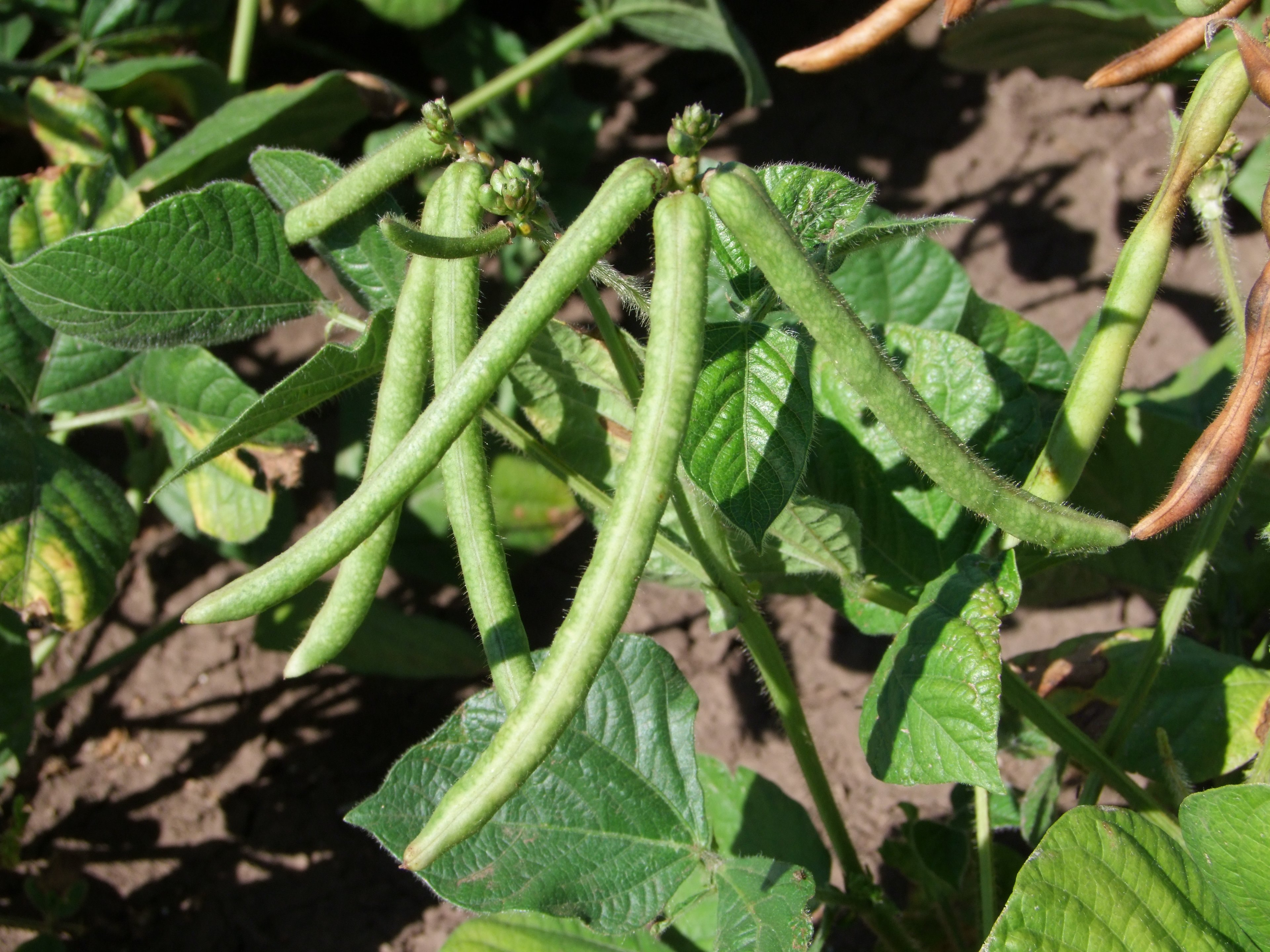Puffy pod in mungbeans may be caused by late phytoplasma infections.