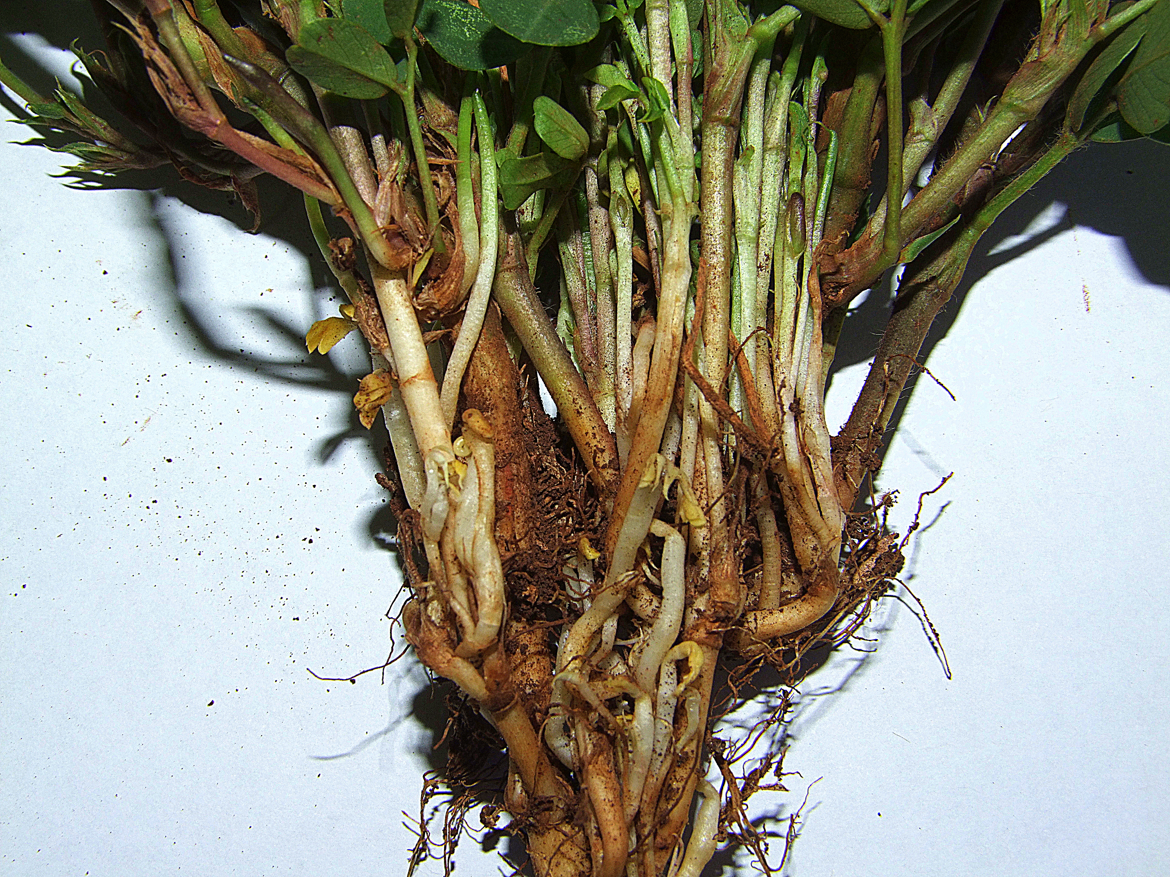 Phytoplasma in peanuts - upwardly-growing deformed pegs that did not produce any pods.