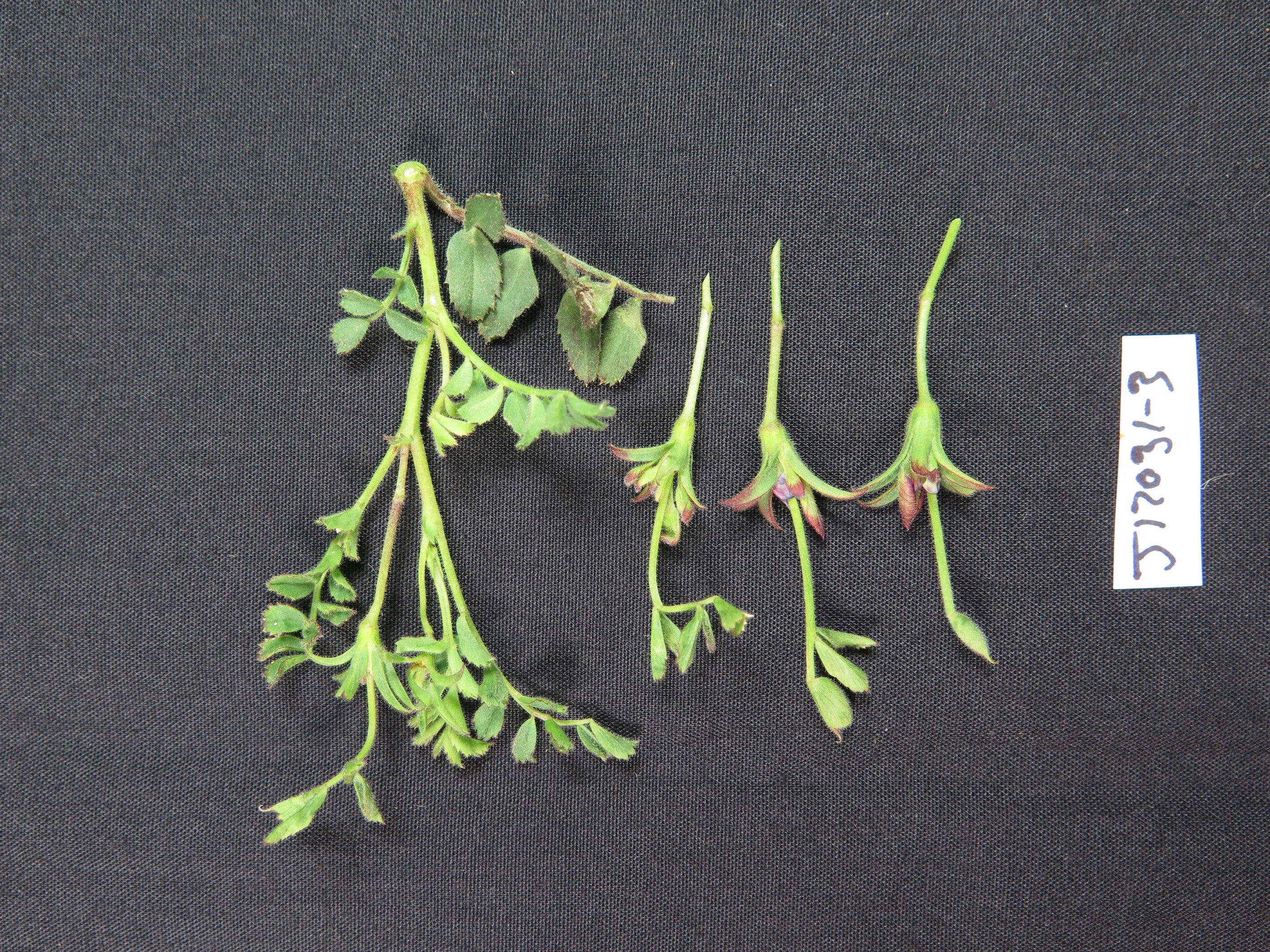 Severely affected plants may not produce any pods.