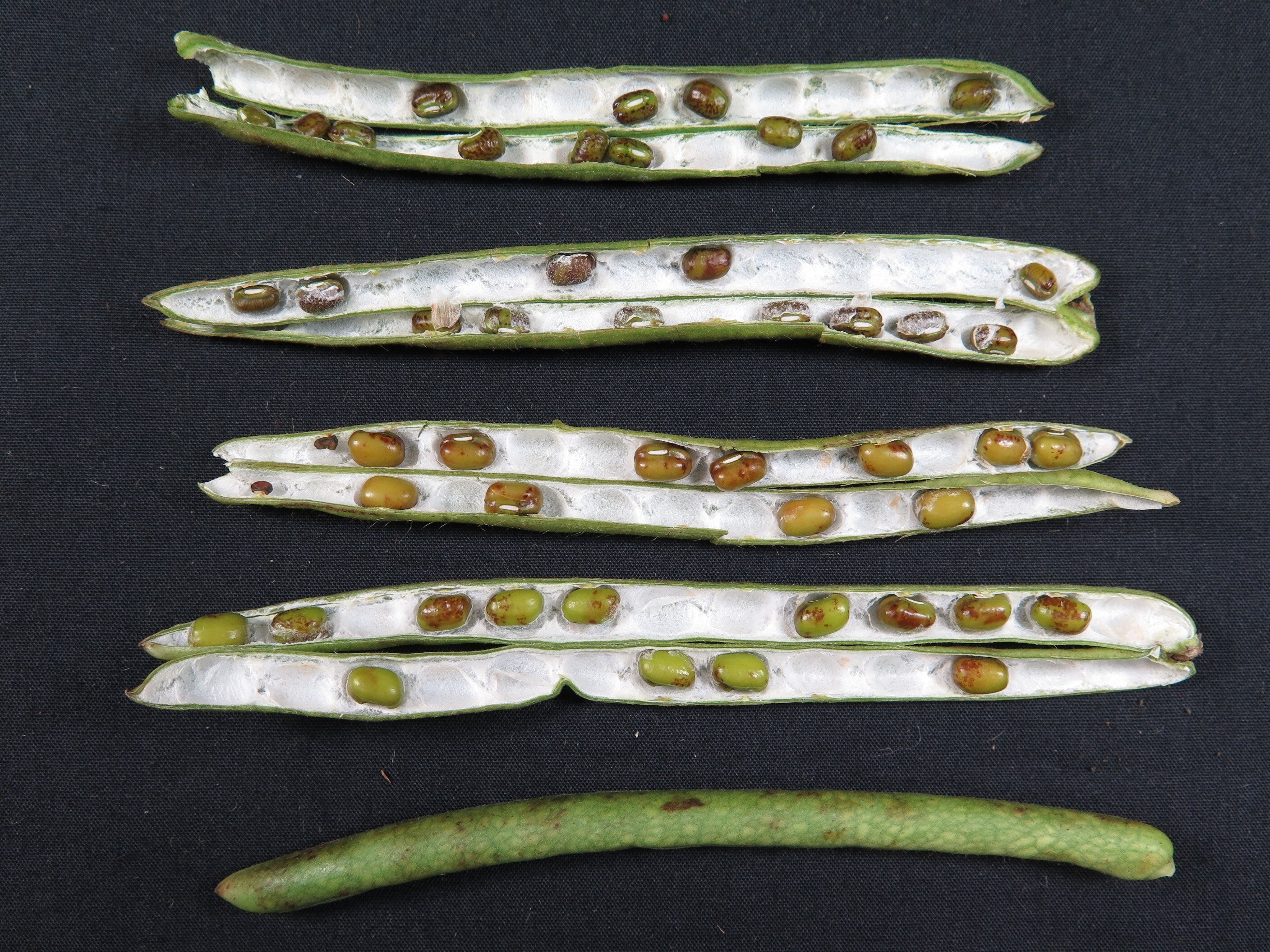 Puffy pod symptoms in phytoplasma-infected mungbeans with netted pattern on pods and shrivelled, brown seeds.