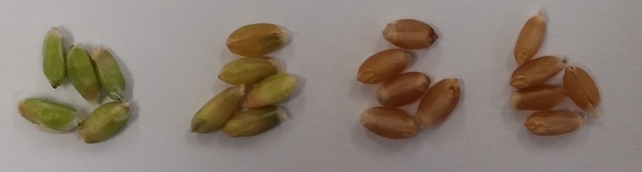 Pictures of wheat grains at different maturities