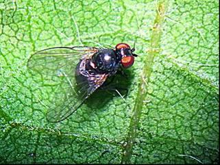 soybean stem fly outbreak in soybean crops the beatsheet